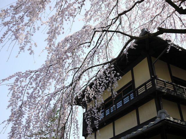 2年坂の桜