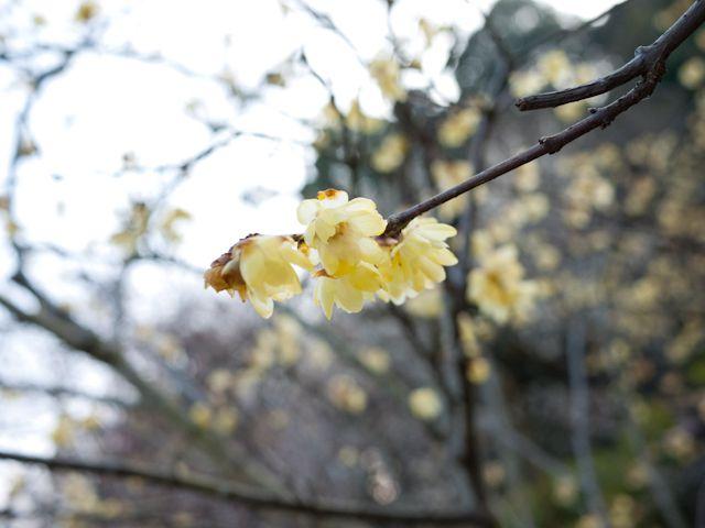 百草園 蝋梅