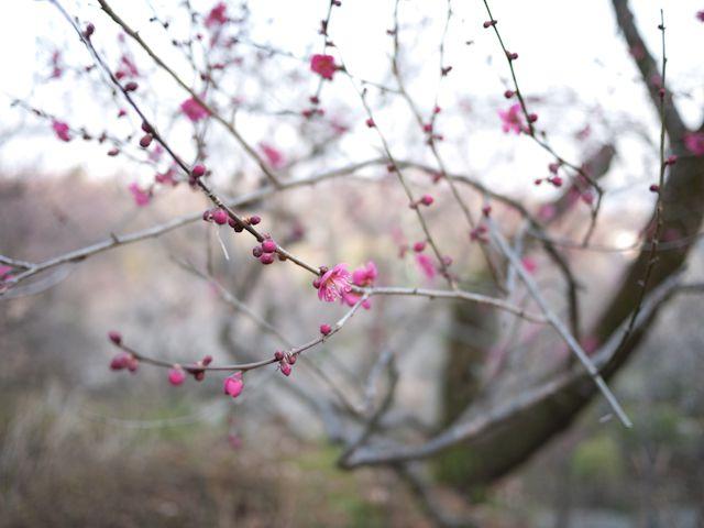 百草園 梅 その1