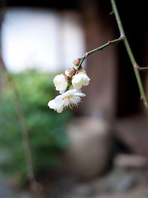 百草園 梅 その2