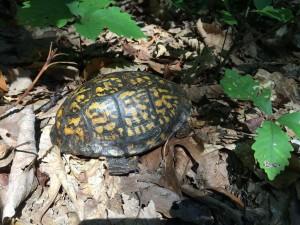 生きてる亀を発見 (Box Turtle)