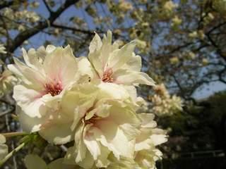 馬事公苑 鬱金(ウコン)桜
