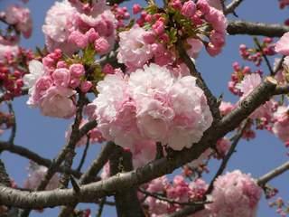 馬事公苑 八重桜