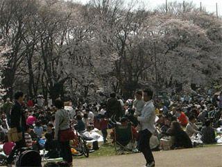 砧公園の花見ラッシュ