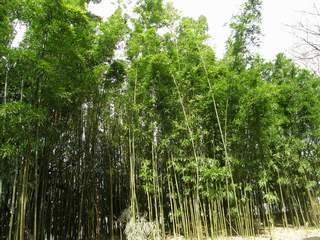 砧公園の竹