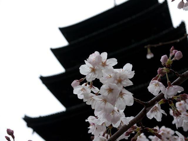 東寺の五重塔と桜